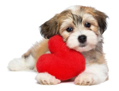 lover valentine havanese puppy dog with a red heart - Dog Valentines Day
