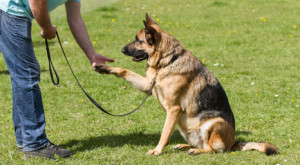 German Shepherd Dog sat giving paw