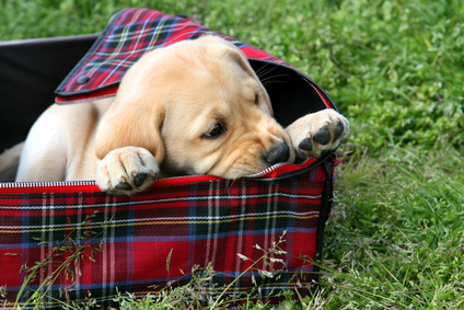 Puppy in Suitcase